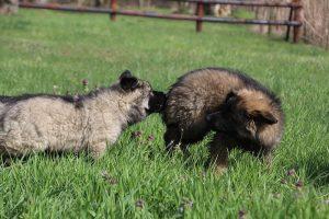 comme-chiens-et-loups 084