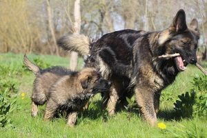 comme-chiens-et-loups 085