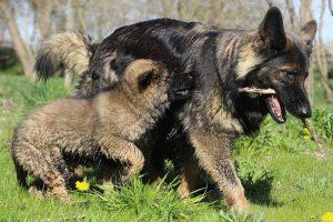 comme-chiens-et-loups 086