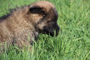 comme-chiens-et-loups 099