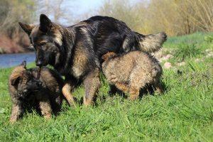 comme-chiens-et-loups 103