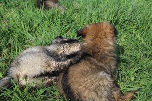 comme-chiens-et-loups 105