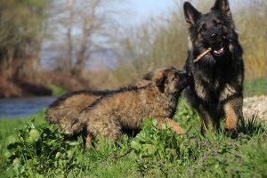 comme-chiens-et-loups 107