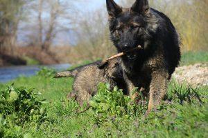 comme-chiens-et-loups 108