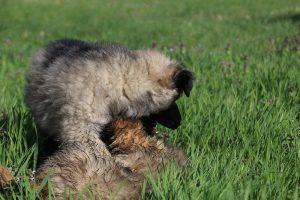 comme-chiens-et-loups 114