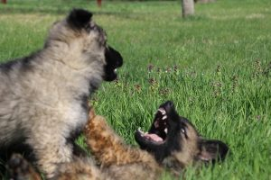 comme-chiens-et-loups 115
