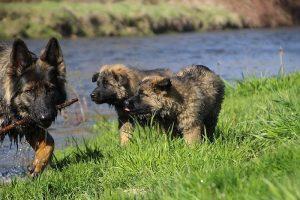 comme-chiens-et-loups 125