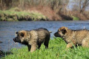 comme-chiens-et-loups 136
