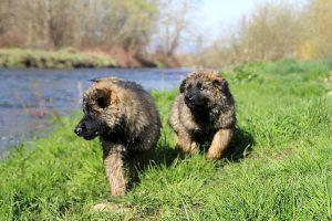 comme-chiens-et-loups 144