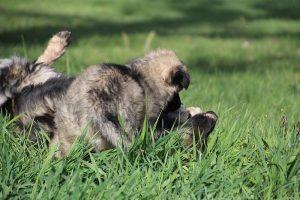comme-chiens-et-loups 147