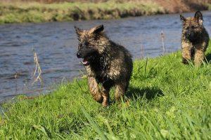 comme-chiens-et-loups 153