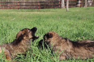 comme-chiens-et-loups 154