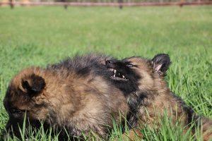comme-chiens-et-loups 156
