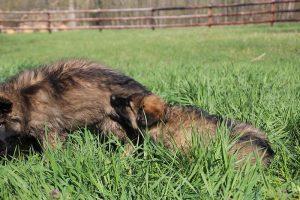comme-chiens-et-loups 157
