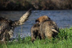 comme-chiens-et-loups 158