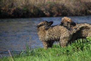 comme-chiens-et-loups 160
