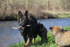 comme-chiens-et-loups 170