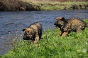 comme-chiens-et-loups 176