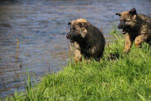 comme-chiens-et-loups 177