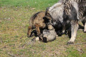 comme-chiens-et-loups 178
