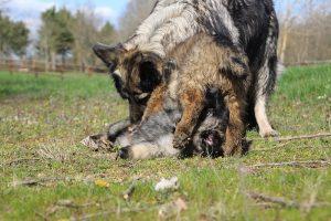 comme-chiens-et-loups 183