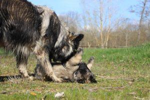 comme-chiens-et-loups 187