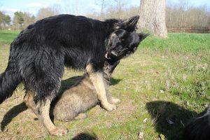 comme-chiens-et-loups 191