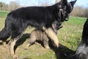 comme-chiens-et-loups 192