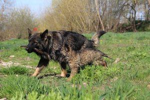comme-chiens-et-loups 205