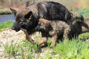 comme-chiens-et-loups 207