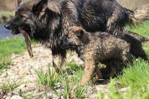 comme-chiens-et-loups 208