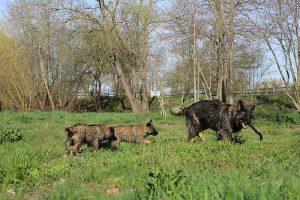 comme-chiens-et-loups 210