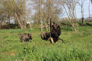 comme-chiens-et-loups 211