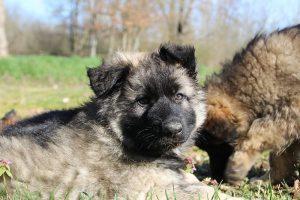 comme-chiens-et-loups 214