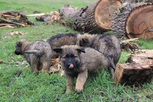 comme-chiens-et-loups 663