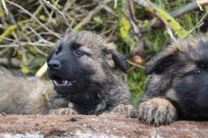 comme-chiens-et-loups 670