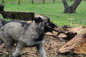 comme-chiens-et-loups 708