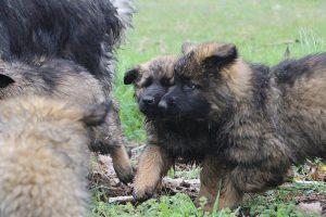 comme-chiens-et-loups 715