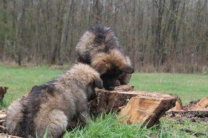comme-chiens-et-loups 740