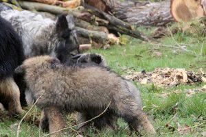 comme-chiens-et-loups 749