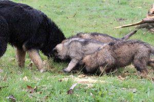 comme-chiens-et-loups 752