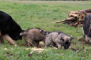 comme-chiens-et-loups 755