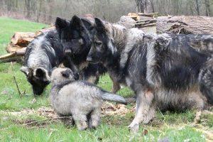 comme-chiens-et-loups 774