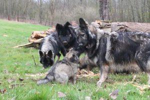 comme-chiens-et-loups 775