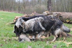 comme-chiens-et-loups 776