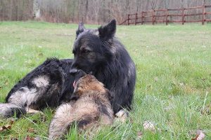 comme-chiens-et-loups 782