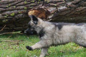 comme-chiens-et-loups 793