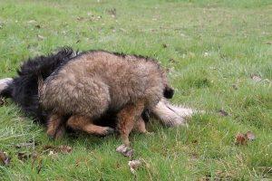 comme-chiens-et-loups 819