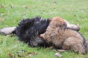 comme-chiens-et-loups 821