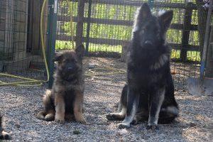 comme chiens et loups 003